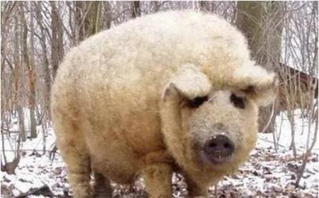世界上最贵的猪,是披着羊皮的猪!