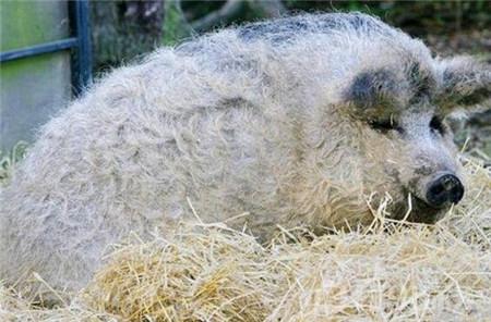 不过,据说这种卷毛猪是一种极为稀有的古老物种,且在很多地方已经灭绝,只有原产地仍有为数不多的卷毛绵羊猪。产量不多的它们,已经是濒危古老猪类了。