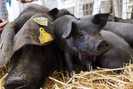 与其发愁猪价不涨,不如养这种猪