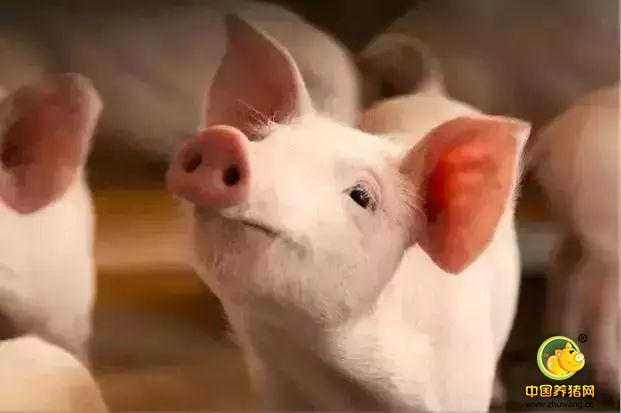 猪场下半年或将有20万-80万的国家补贴,快看看都有那些地区?