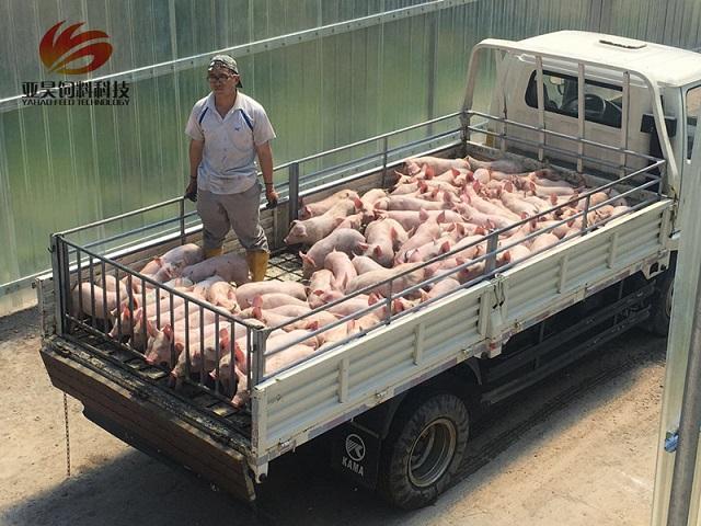 短期猪价很难出现上涨 养殖户千万不要杀跌