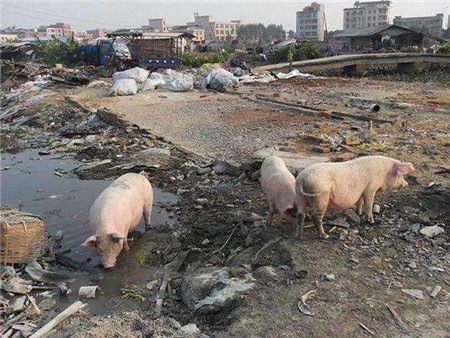 时代造势,环保重压下未来养猪行业将赚的盆满钵满