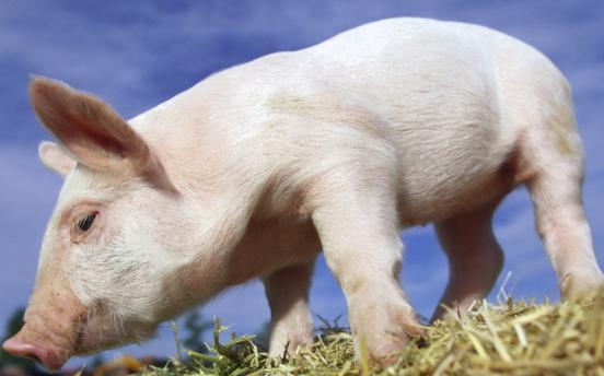 短期猪价行情很难出现上涨 养猪户千万不要杀跌