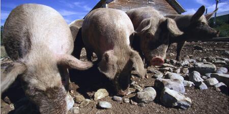 猪价回升慢是何原因?双节到来涨不涨?