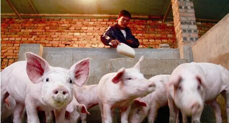养猪巨头拼命扩张,8月能繁母猪却降至3522万头?