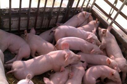 2017年09月19日全国土杂猪生猪价格行情涨跌表