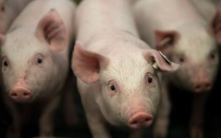 700万头减到18万头,嘉兴生态养猪4年经历了什么