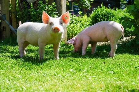 集中出栏态势将现 决定猪价力量更多集中在供给端