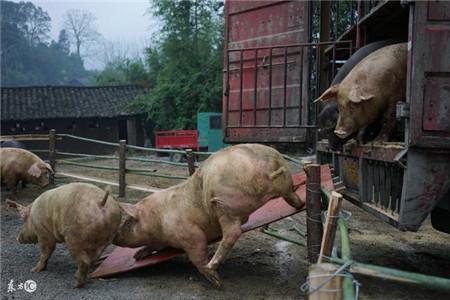 猪价涨跌的真正原因到底是啥?看后吓了一跳!