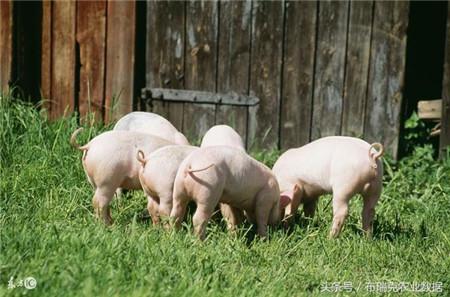 9月第三周:猪价持续下跌,短期将维持震荡偏弱态势