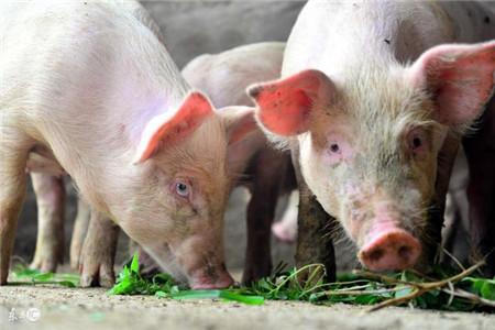 9月19日猪价行情是涨是跌?双节已近能否一路飘红?