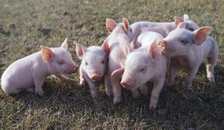 """不让养猪难道靠进口?生猪业警惕不可再走""""大豆之路"""""""