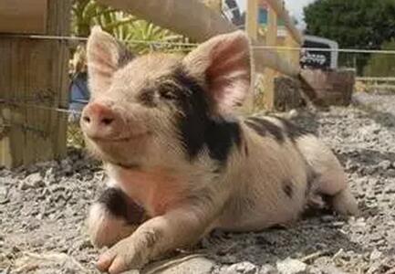 刘德旺养猪知识——猪的好奇心为什么很强?