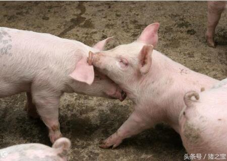 未来养猪面临的两大机会,四大问题,您有想过吗?
