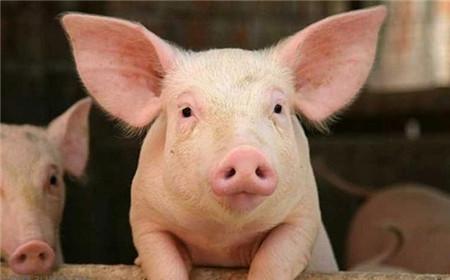 双节猪价利好或生变故,有多个不好的消息传出