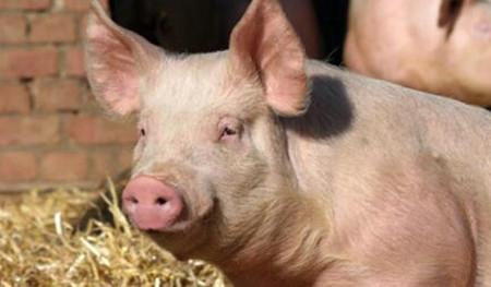 猪呼吸困难又咳嗽 兽医如何正确诊断及治疗