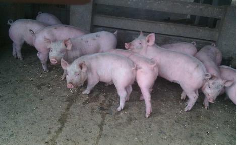 猪场建设不容易,这些问题要注意!