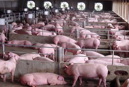 让仔猪腹泻拉稀滚蛋!10日龄到断奶的饲养管理要点!