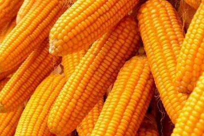 如何正确饲喂新玉米?别等猪只拉稀再重视!