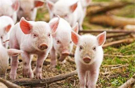 新型养猪业大潮涌来,福利养殖受关注