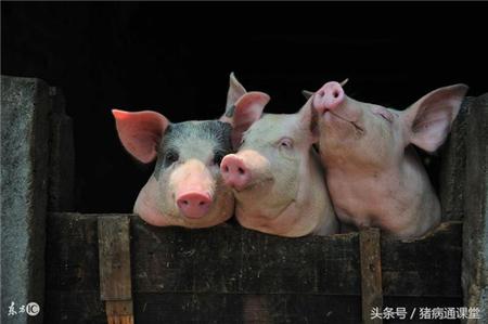 养猪绝招:只要方法在,少吃饲料也能长得快!