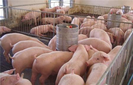 猪病防治重在保健