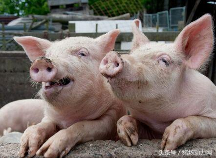 秋季疾病来势汹汹,该如何打好秋季猪病保卫战?