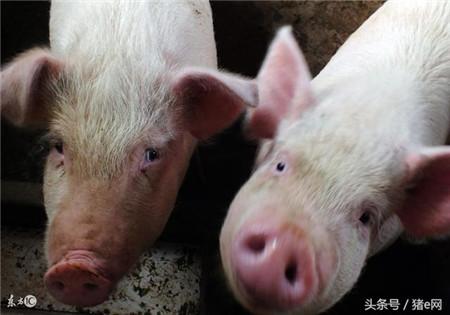 猪价遇到节日就下跌,原来是这么回事!