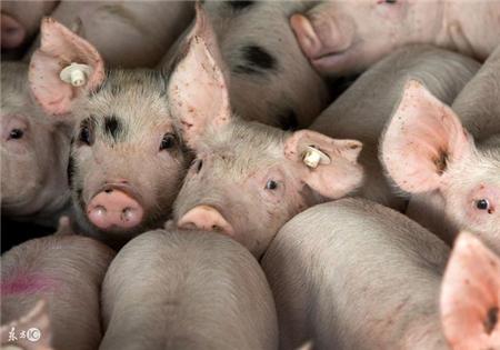 中秋、国庆双节将至,猪价真的能如愿飙升吗?