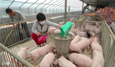 养猪和杀猪谁赚钱多?别怪猪价贵 杀猪都要去屠宰场