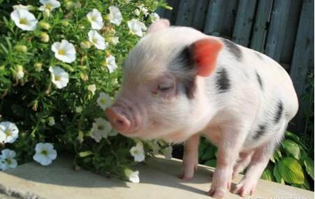 生猪存栏量下降趋势 双节猪价涨势或不及预期