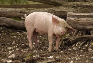 2017年9月24日(20至30公斤)仔猪价格行情走势