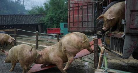双节前猪价还有一个上涨机会,在这里!