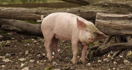 """""""十月坑""""有多大?后市猪友或该乐笑了!"""