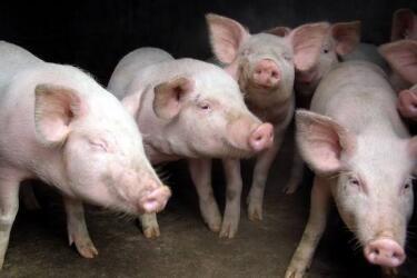 福建大田:联合公安查处一起生产、销售病死猪肉案件