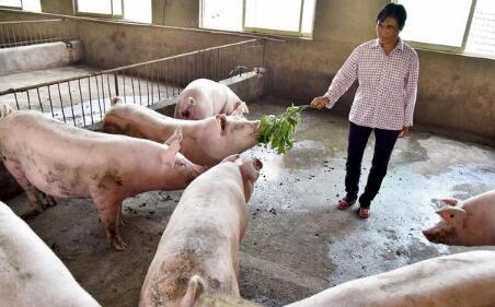 8个月近千亿砸向养猪业,现在投资养猪还是不是好时机?