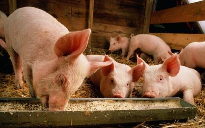 高层养猪设计图