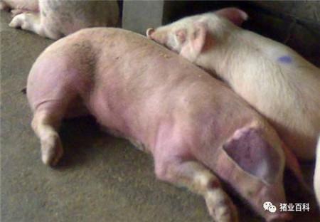 猪场呼吸道病频发,原来是这几个在捣鬼!