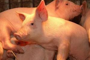 背道而驰的猪周期 小涨≠牛市 对于后市要谨慎乐观