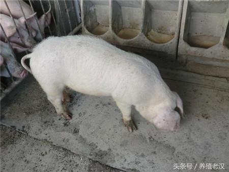 猪不吃食,打针没效果,怎么办?这些解决思路很有用!