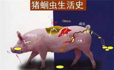 猪蛔虫病在临床中的典型症状
