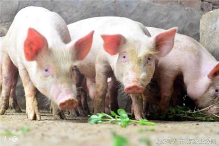节日之前,猪价易涨难跌?