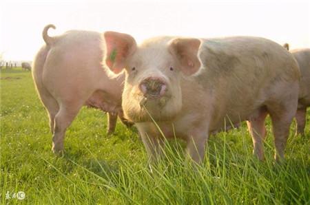 2017年未来猪肉价格会怎么走?影响它的因素有这些