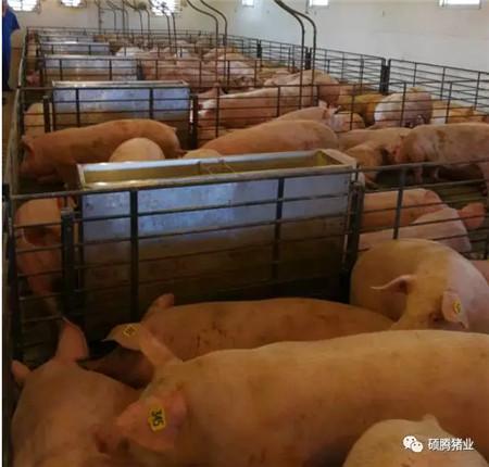 """硕腾赴美考察团拜访印第安纳波利斯""""异普克""""示范猪场,现场感受""""异普克猪""""的姿态"""
