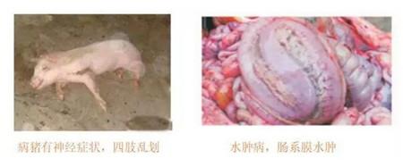 不得不防的常见病——仔猪大肠杆菌病