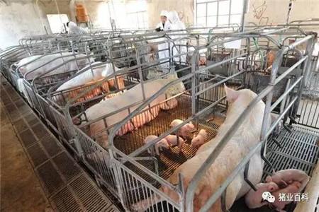 哪个猪场没用催产素呢?省了时间害了猪,母猪使用催产素助产100%错误