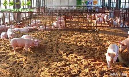 发酵床养猪优缺点比较,阶段性采用或可二者兼顾