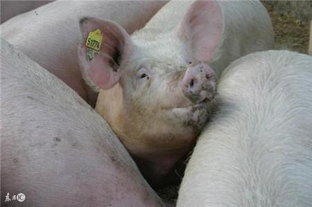 顽固的猪呼吸道疾病,为何让你束手无策?