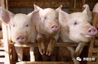 猪只的生理习性,这些你一定要知道!