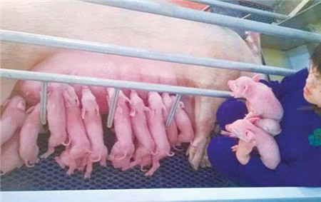 产房接产细节,你疏忽了那些?断脐诀窍减少新生仔猪窒息!